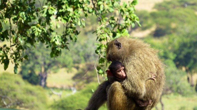 This mom monkey was giving its baby one of the biggest monkey love hugs I've ever seen!