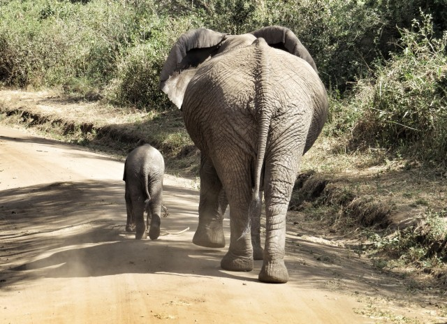 "This mother elephant and her baby were casually strolling down the dirt road, completely oblivious to our jeep behind them. It caused somewhat of a ""traffic jam,"" but we didn't mind."
