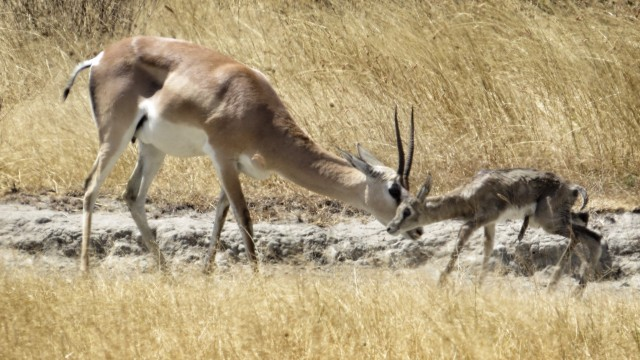 We came across this newborn gazelle with its mother shortly after she had given birth to it. We  watched the mother attempting to teach the baby to walk for a good 45 minutes. After numerous failed attempts, we finally got to see the baby gazelle take its first steps in this world!