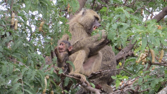 This baby monkey and its Mother were both chowing down on some food high up in the trees. I still can't get over the facial expression of the baby in this one!